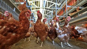 Some of the 8,000 brown Leghorn and white Leghorn chickens in a cage-free aviary system barn at Hilliker's Ranch Fresh Eggs, a family business since 1942, in Lakeview, are shown on Dec 19, 2014. (Credit: Allen J. Schaben / Los Angeles Times)