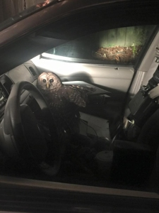 The Covington Police Department posted this photo of the owl on its Facebook page on Dec. 24, 2015.