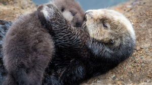 A mother and newborn sea otter are pictured after the baby's birth on Dec. 20, 2015. (Credit: Monterey Bay Aquarium)