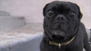 Benny the pug returned to his home on Jan. 1, 2016. (Credit: KTXL)