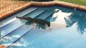 A homeowner in Florida wake to find a crocodile taking a dip in his swimming pool recently. (Credit: WPLG vid CNN)
