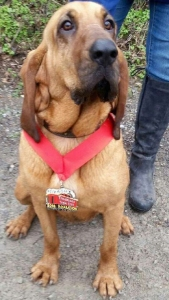 Ludivine, a bloodhound, joined the race and ended up running the entire 13.1 miles. (Credit: April Hamlin)