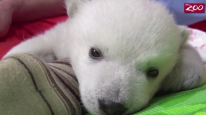 A polar bear cub being hand-reared at the Columbus Zoo in Ohio is seen in this image provided by CNN.