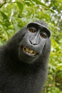 The photographer behind the famous monkey selfie picture is threatening to take legal action against Wikimedia after they refused to remove his picture because 'the monkey took it'. (Credit: Caters News Agency)
