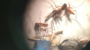 The mosquito Aedes Aegypti as seen through a microscope. The main culprit in the spread of Zika as well as other viruses. (Credit: Miguel Castro/CNN)