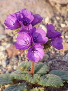 A Caltha-leaved Phacelia is shown in a photo posted to Death Valley National Park's Facebook page on Feb. 3, 2016.