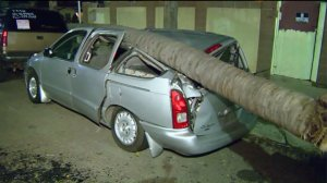 A toppled tree mangled a vehicle in South Los Angeles on Jan. 31, 2016. (Credit: KTLA)