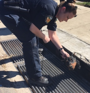 One of two dogs stuck in a storm drain in Jurupa Valley is rescued on Feb. 12, 2016. (Credit: Riverside County Department of Animal Services)