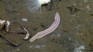 A new species of deep-sea creature that resembles a discarded purple sock has been identified as an early form of life. (Credit: Monteray Bay Aquarium Research I)