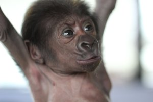 Endangered baby Lowland Gorilla delivered by caesarian at zoo in western England. (Credit: Bristol Zoo Gardens)
