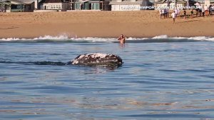 A grey whale was captured on video feeding extremely close to shore in Newport Beach on Feb. 10, 2016. (Credit: Newport Coastal Adventure)