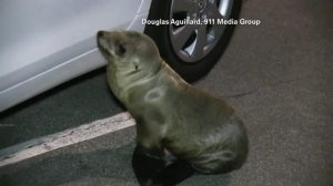 A sea lion pup wandered into a fish market parking lot in San Diego on March 13, 2016. (Credit: Douglas Aguillard/911 Media Group)
