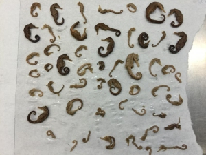 Dozens of seahorses were seized after being discovered in a passenger's luggage on March 1, 2016. (Credit: U.S. Customs and Border Protection)