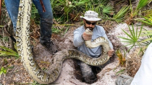 Forty-three pythons have been captured in South Florida over the past three months, CNN reported on March 20, 2016. Among them, the largest male python ever documented in south Florida, measuring 16 feet and weighing more than 140 pounds. (Credit: Conservancy of Southwest Florida)