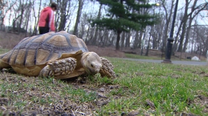 Hundreds responded to an ad looking for someone to walk Henry the tortoise. (Credit: WPIX)