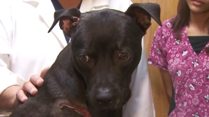 Phoenix is seen at the Colima Animal Hospital in Rowland Heights on June 6, 2016. (Credit: KTLA)