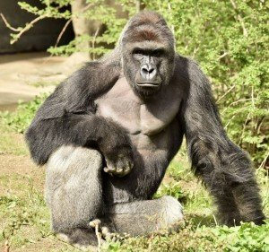 The Cincinnati Zoo shot and killed a western lowland gorilla on Saturday (May 28, 2016) after a 4-year-old boy slipped into the animal's enclosure. Harambe, the gorilla killed, is seen in this file photo. (Credit: Cincinnati Zoo)