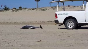 A dead dolphin is towed across a beach in Ventura on July 3, 2016. (Credit: Justin Avila)
