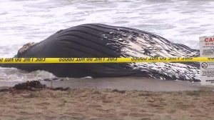 A whale carcass is seen at Dockweiler State Beach on July 1, 2016. (Credit: KTLA)