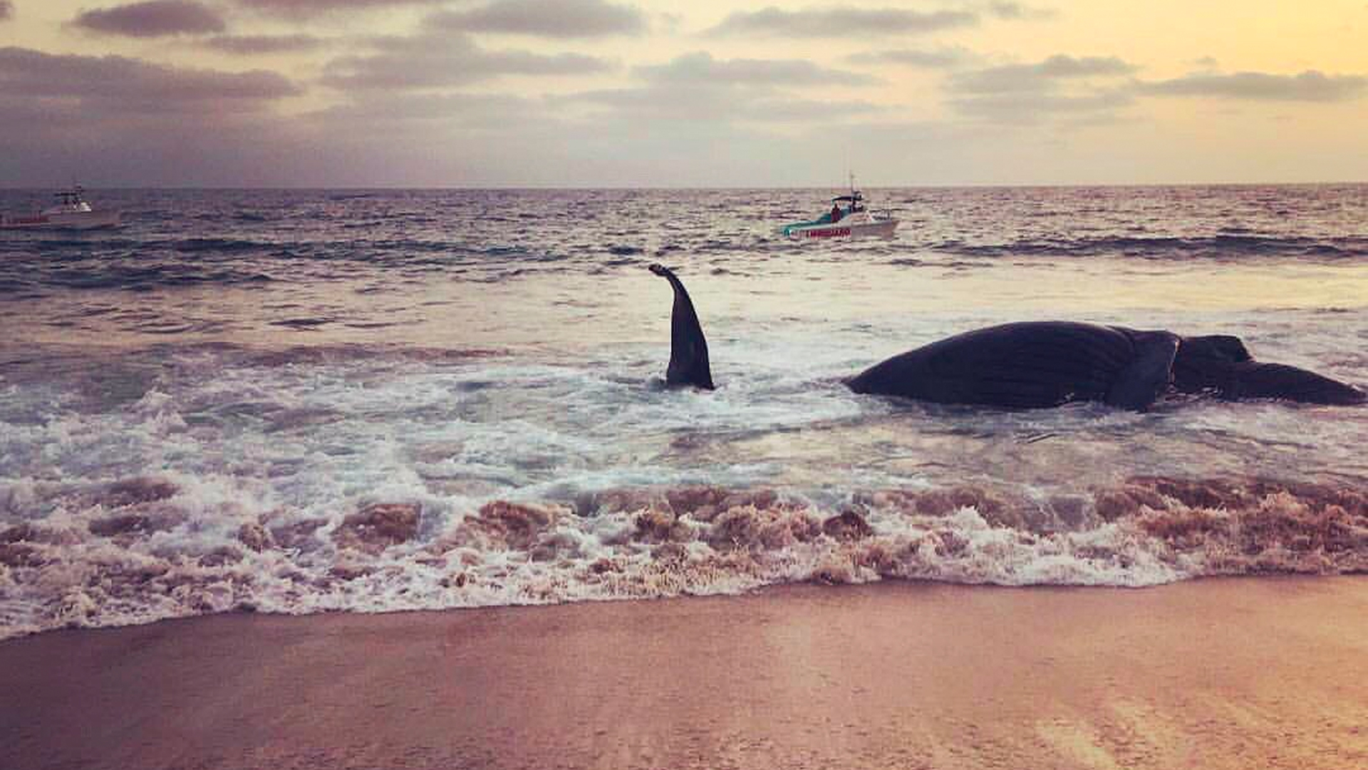 A whale that washed ashore at Dockweiler State Beach is seen in this photo posted to the Los Angeles County Fire Department Lifeguard Division Twitter page.