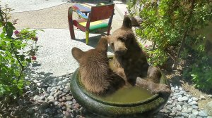 Two bear cubs were caught on video in Pasadena on Aug. 2, 2016. (Credit: Sainty Wang and Carlos Chavez)