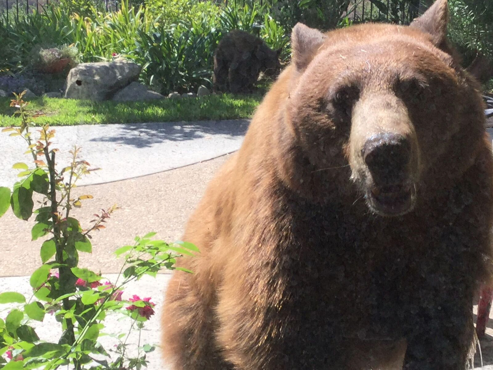 An adult bear was spotted in a Pasadena backyard on Aug. 2, 2016. (Credit: Sainty Wang and Carlos Chavez)
