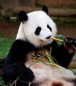 Giant panda mom Lun Lun is expecting twins at the Atlanta Zoo. (Credit: Atlanta Zoo)