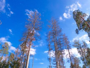 Spruce trees attacked by the bark beetle. The beetle bores into the trunk and feeds and breeds beneath the bark. (Credit: CNN)