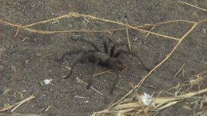 Park rangers in the Santa Monica Mountains are asking hikers and visitors to be aware of an increase in tarantulas during mating season. (Credit: KTLA)