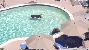 Bears are shown swimming in a Pasadena pool on Sept. 1, 2016. (Credit: KTLA)