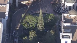 Crews work to put up The Grove's Christmas tree on Oct. 20, 2016. (Credit: KTLA)