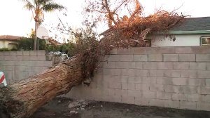 A tree is seen on Nov. 18 after it fell onto the roof of a house in Granada Hills. (Credit: KTLA)