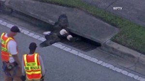 A rescue attempt for a bald eagle stuck in a storm drain took place Nov. 10, 2016, in Orange County, Florida. (Credit: WFTV via CNN)