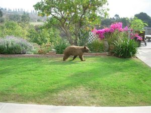 Live Oak Canyon-area resident Nathan Keeler provided this photo of a bear in the neighborhood.