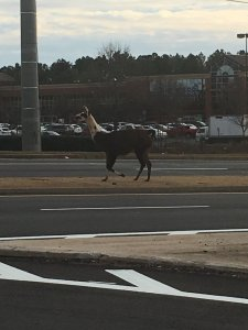 Photo of a llama in the street in Athens, Georgia on January 4, 2017.