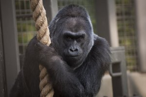 Colo died in her sleep at the Columbus Zoo early Tuesday, Jan. 17, 2017. (Credit: Columbus Zoo and Aquarium)