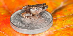 Seven new species of frog -- some of the smallest in the world -- were found after five years of searching in the Western Ghats, a mountain range in Southwestern India known to be a biodiversity hotspot. (Credit: SD BIJU)