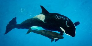 Kyara, a 3-month-old killer whale calf at SeaWorld San Antonio, and the last one born in captivity at one of the company's parks, has died. Kyara and Takara are pictured here. (Credit: SeaWorld Parks & Entertainment)