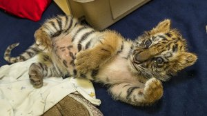 A tiger cub that was rescued at the U.S.-Mexico border was doing well on Aug. 25, 2017, according to the San Diego Zoo Safari Park, which released this photo of the weeks-old animal.