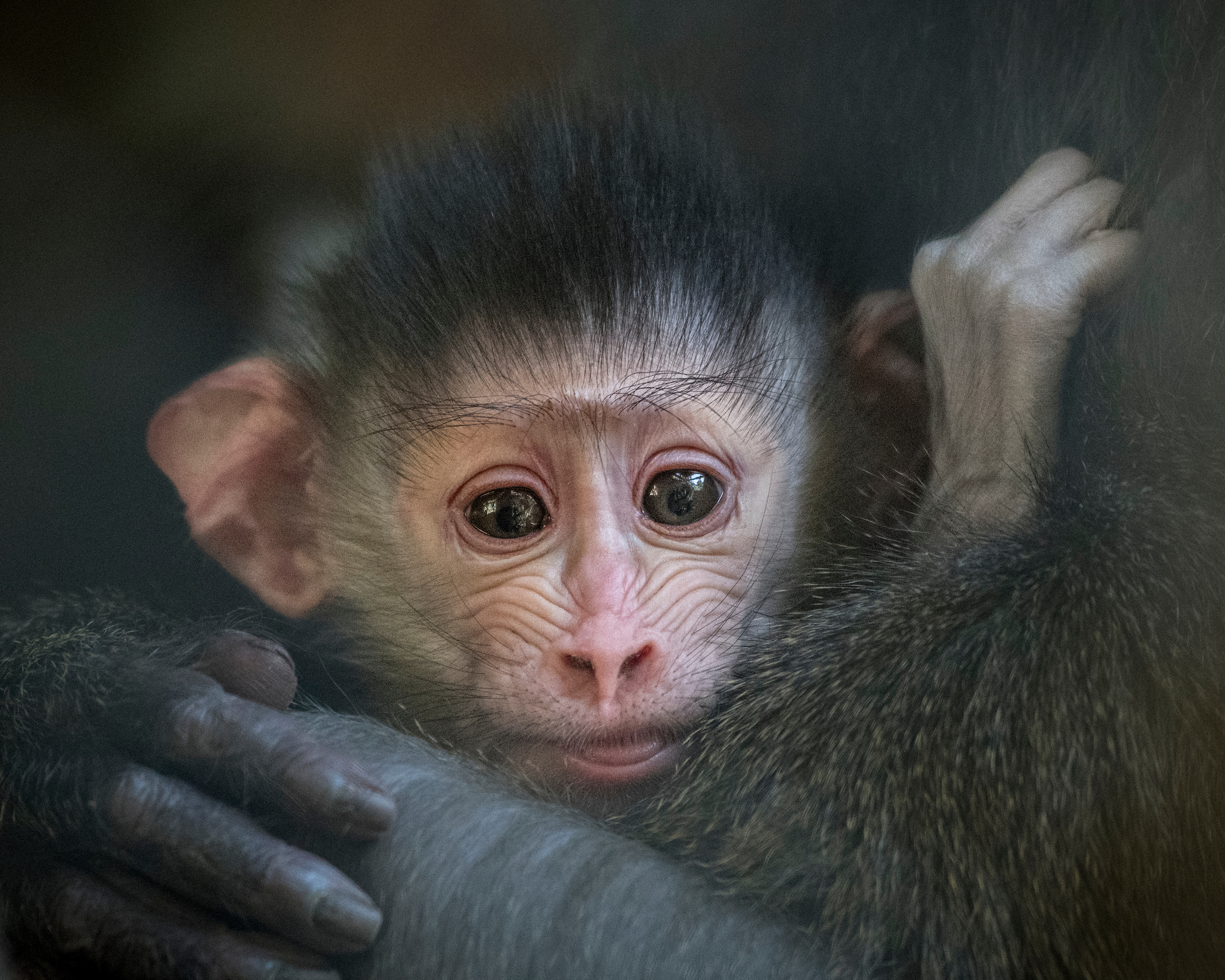 A baby is shown in a photo provided by the Los Angeles Zoo on Sept. 25, 2017.