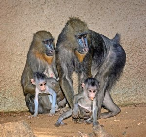 Two baby mandrills are shown with their mothers in a photo provided by the Los Angeles Zoo on Sept. 25, 2017.