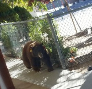 Pasadena Rosebud Academy provided this image of a bear on campus on Oct. 24, 2017.