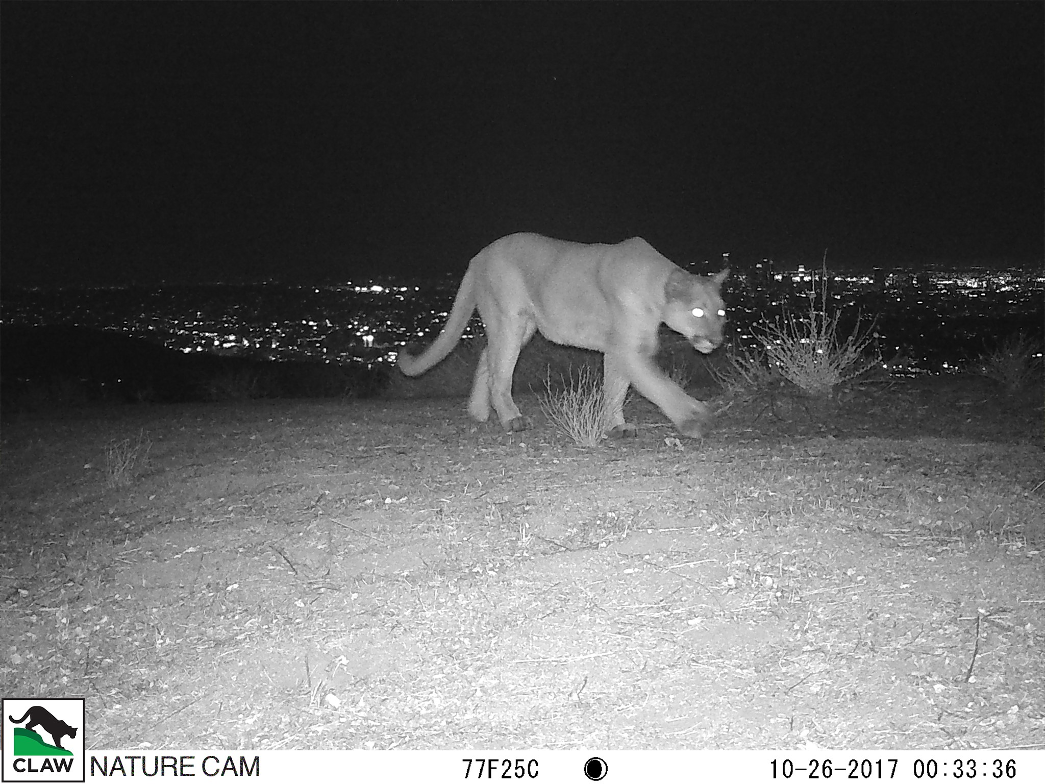 A mountain lion was captured by a wildlife camera in Laurel Canyon on Oct. 26, 2017. (Credit: Citizens for Los Angeles Wildlife)