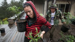 Percilla (left) and Chris, who are part of a live/work exchange program, carry marijuana plants into a greenhouse in Mendocino County, Calif. on April 19, 2017. (Credit: Josh Edelson/AFP/Getty Images)