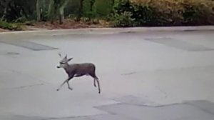 A deer is seen trotting across a roadway where it was shot on Sept. 14, 2017. (Credit: Robyn and Chuck Tapert)