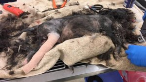 Chance is seen before his treatment in a photo released by Maricopa County Animal Care and Control.