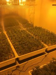 Marijuana plants were being grown at two Chino Hills locations, which are unrelated, before they were both busted on Nov. 29, 2017. (Credit: Chino Hills Police Department)