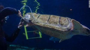 A sea turtle is fitted for a 3D-printing shell at the Birch Aquarium in La Jolla in December 2017. (Courtesy: Birch Aquarium)