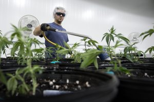 Tweed employee Ian Johnston waters small seedlings of marijuana plants inside the Mother Room at Tweed in Ontario, Canada on Dec. 5, 2016. (Credit: Lars Hagberg/AFP/Getty Images)