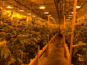 Mature marijuana plants are seen growing in a San Bernardino warehouse in a photo distributed by the San Bernardino Police Department on Dec. 13, 2017.